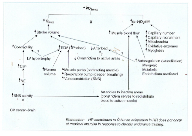 VO2 graphic and adaptation with traning.jpg