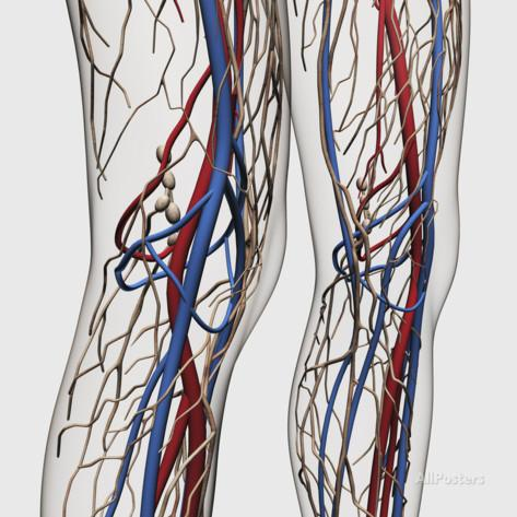 stocktrek-images-medical-illustration-of-arteries-veins-and-lymphatic-system-in-human-legs.jpg
