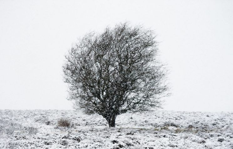 hawthorn in snow Nov '16.jpg