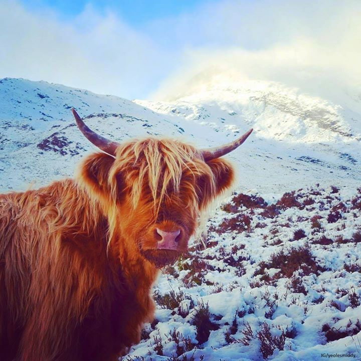 highland cow in snow.jpg