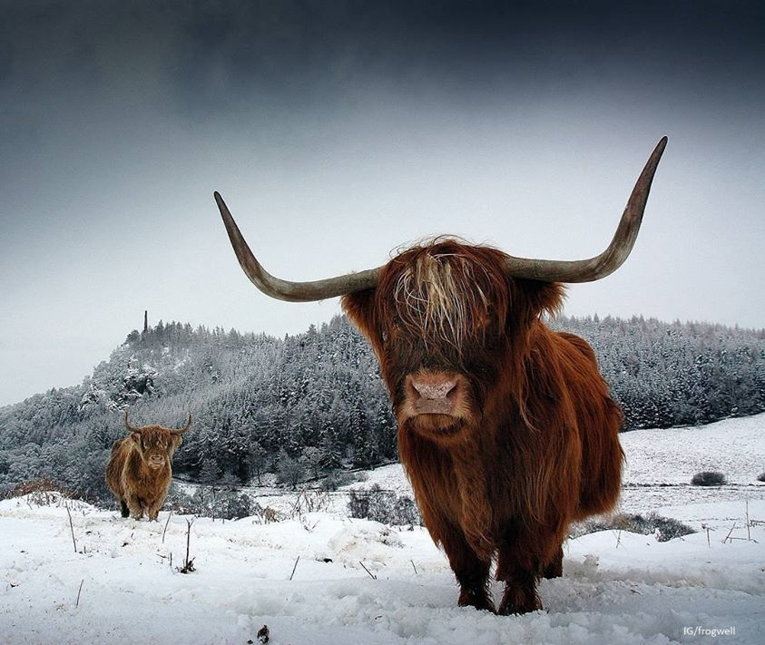 Highland cattle in snow.jpg