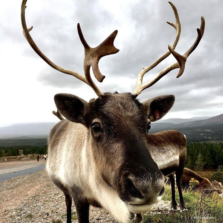 Scottish Reindeer.jpg