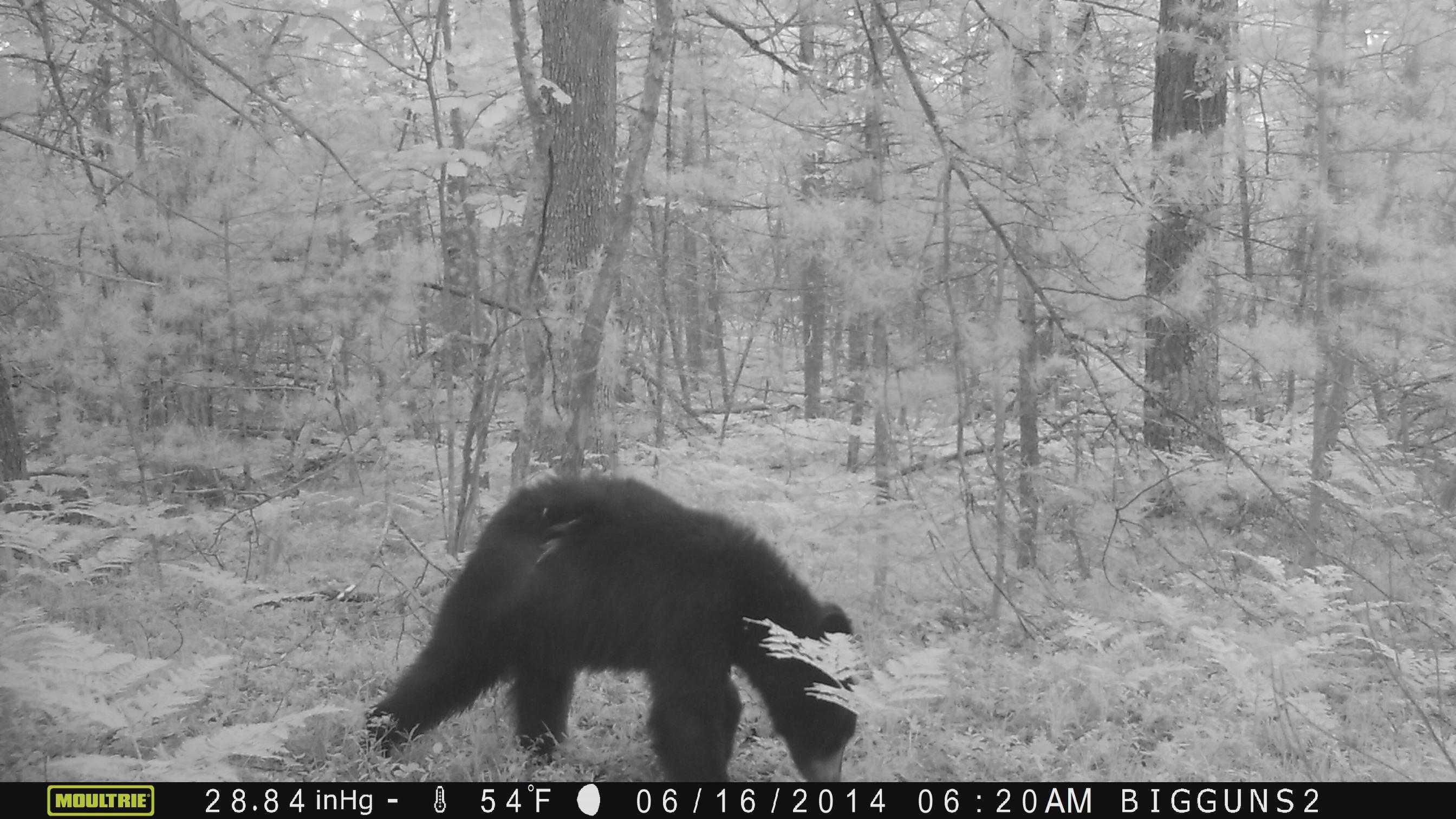 6-19-14 Bear3.JPG