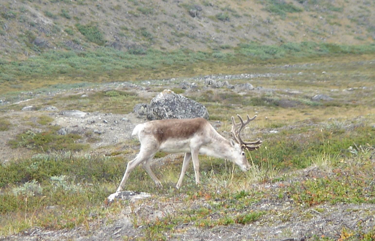 ULning-Greenland-young-reindeer-near-Aputitooq-mountain.JPG