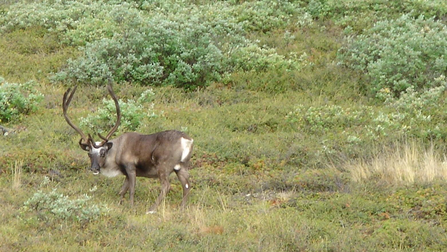 ULning-Greenland-friendly-reindeer-bull-around-camp-near-Austmannadalen.JPG