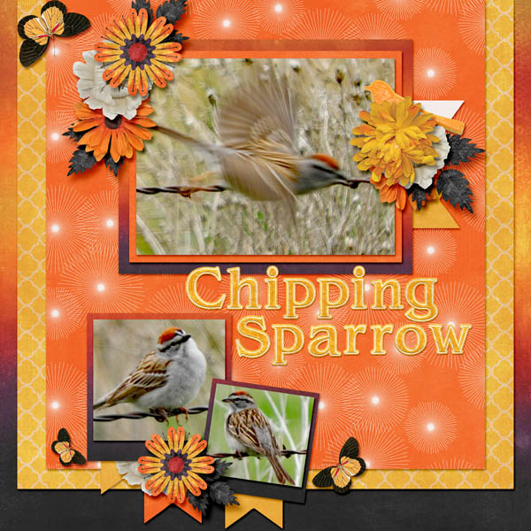 Chipping Sparrow-Sunset.jpg