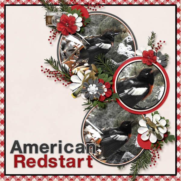 American Redstart Winter Walk.jpg
