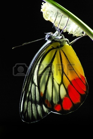 butterfly monarch-butterfly-born stock photo.jpg