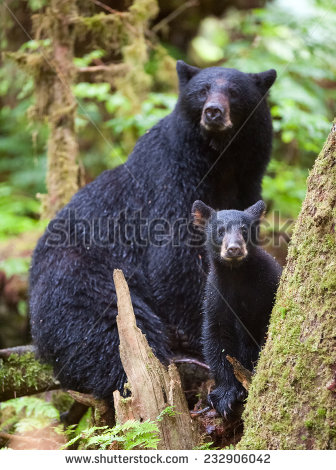 Bear3 stock-photo-a-black-mother-bear-with-cub-232906042.jpg
