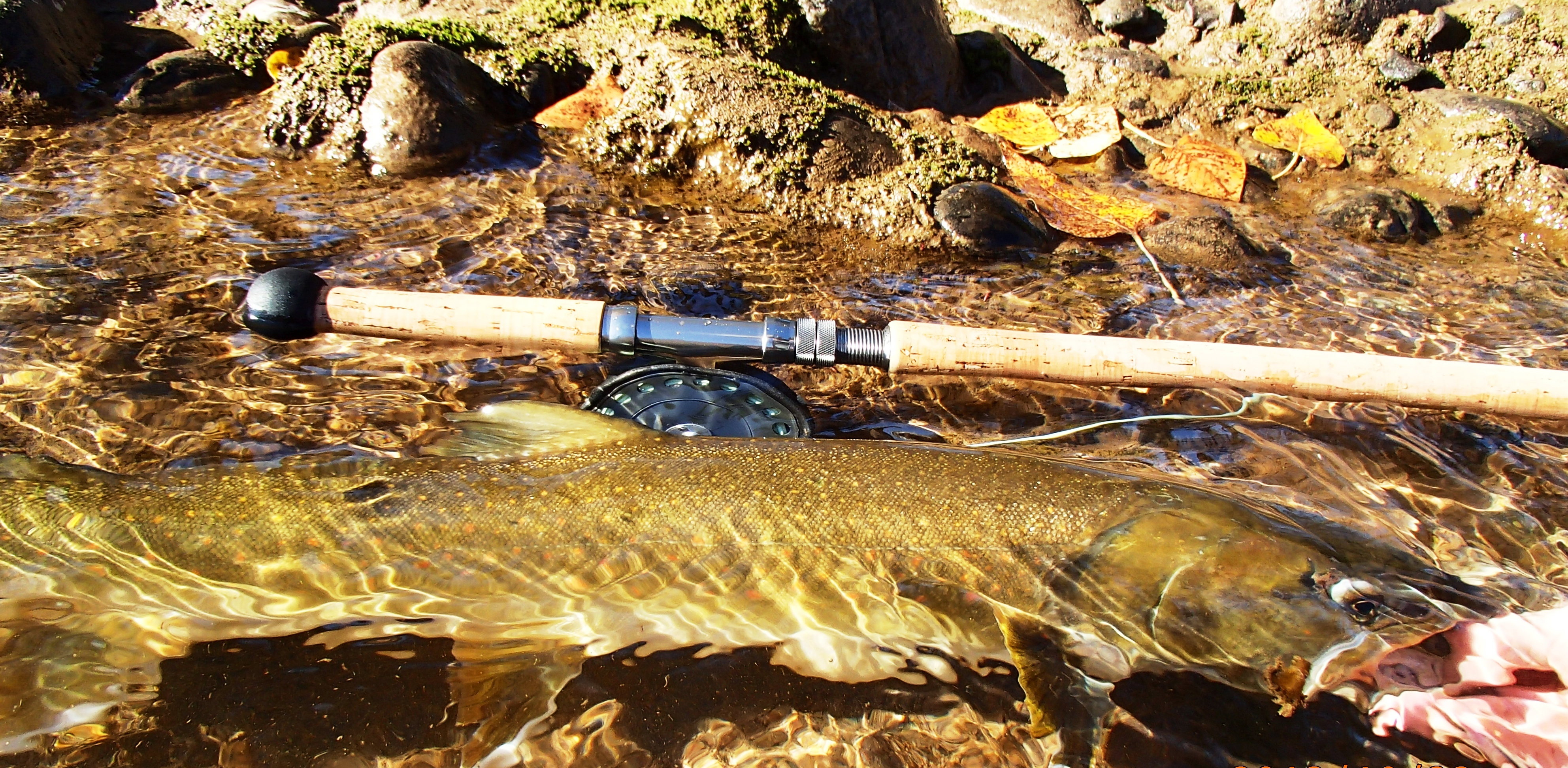 methow bull trout cropped.jpg