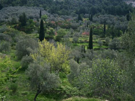 wilson-loraine-olive-and-cypress-trees-on-terraces-samos-dodecanese-greek-islands-greece-europe.jpg