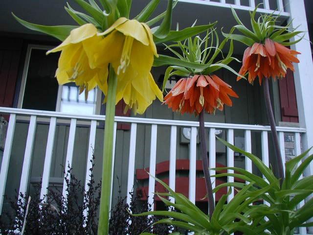 Fritillaria Imperialis.jpg