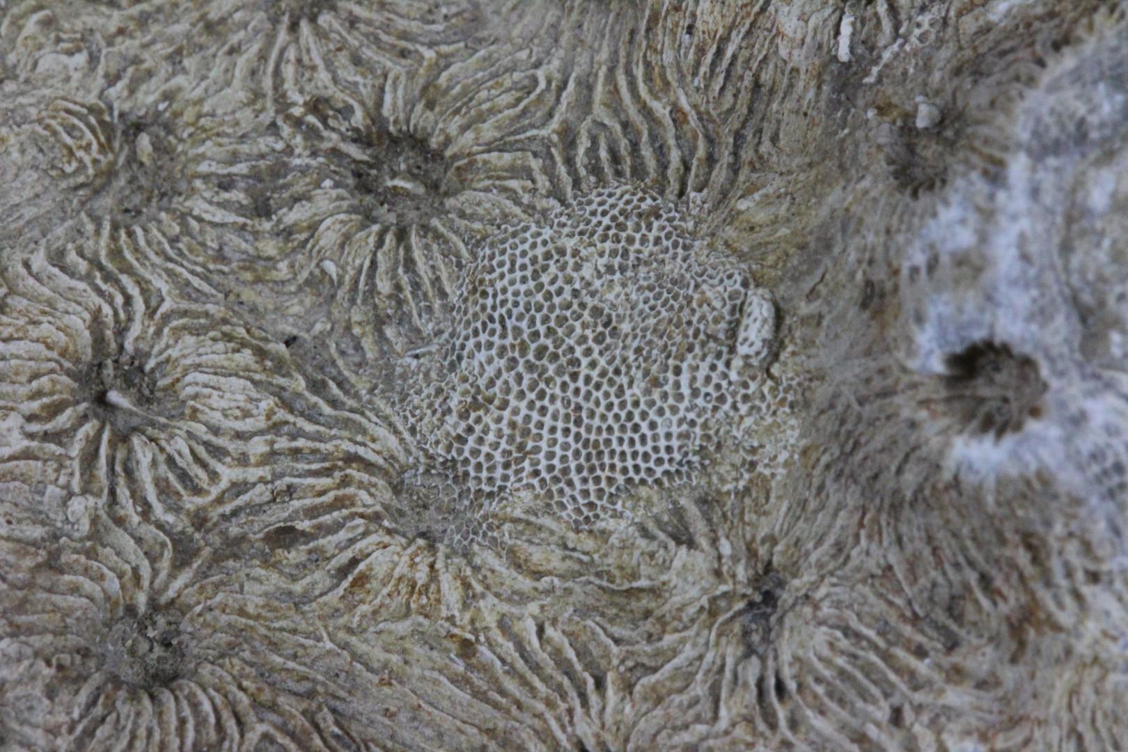 Orionastraea phillipsi + bryozoan.jpg