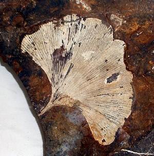 jurassic Ginko leaf fossil.jpg