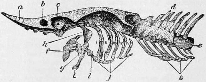NIE_1905_Sturgeon_-_Skull.jpg