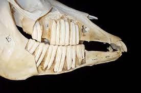 Horse Dentition.jpg