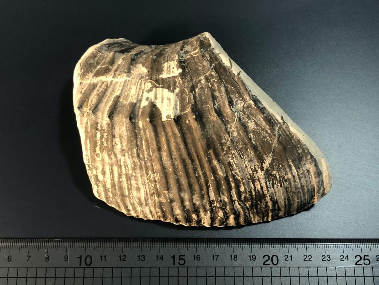Charmouth-ammonite.jpg