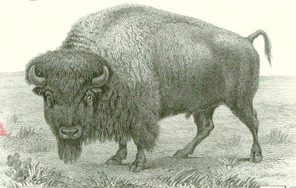 B47 bison.jpg
