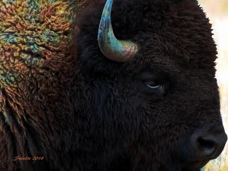 I see a Buffalo.jpg