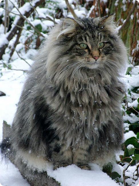 fluffy-maine-coon-in-snow-r-default.jpg