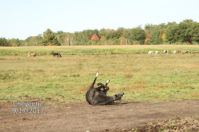 Name: cheyenne2-pasture-sept17-IMG_8781-copy.jpg, Views: 711, Size: 308.58 KB