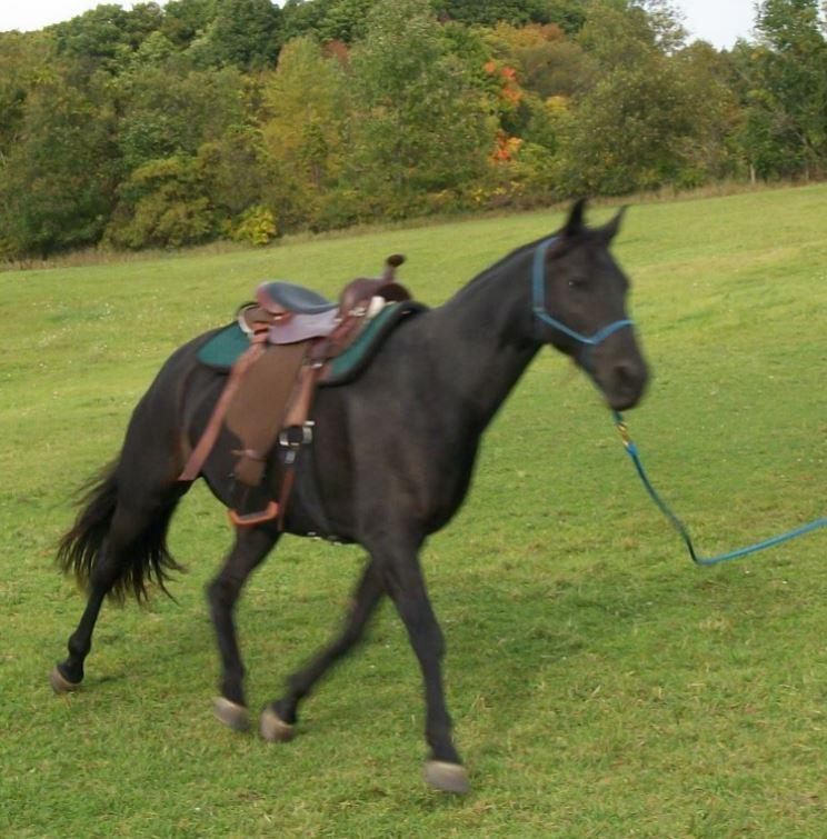 Name: Onyx and Lori saddled in pasture C - 9-17-2017.JPG, Views: 464, Size: 99.00 KB