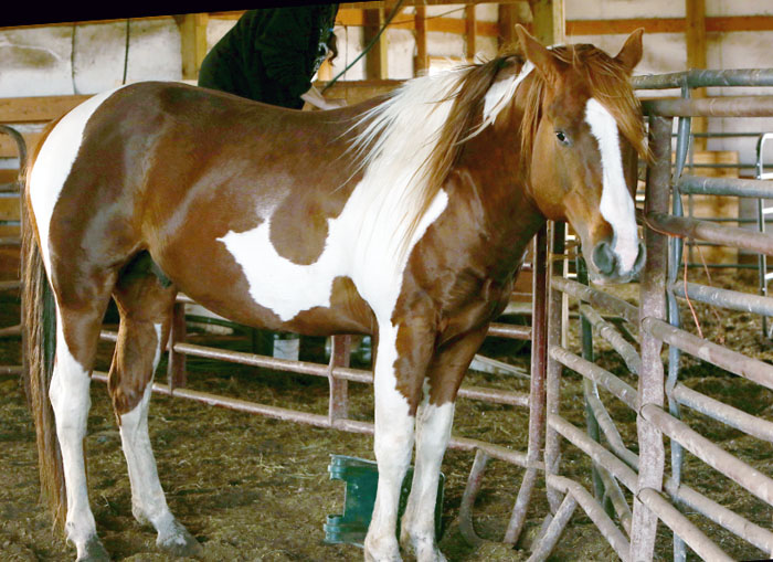 Name: semper 6yo stallion quarter arab IMGL2200 copy.jpg, Views: 798, Size: 137.53 KB