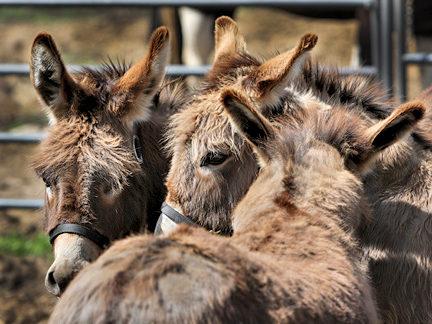 Name: 1a-im-all-ears-donkeys382-may16.jpg, Views: 1960, Size: 154.91 KB