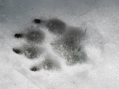 Bear Print winter 2009-2010.jpgsmallest photo.jpg