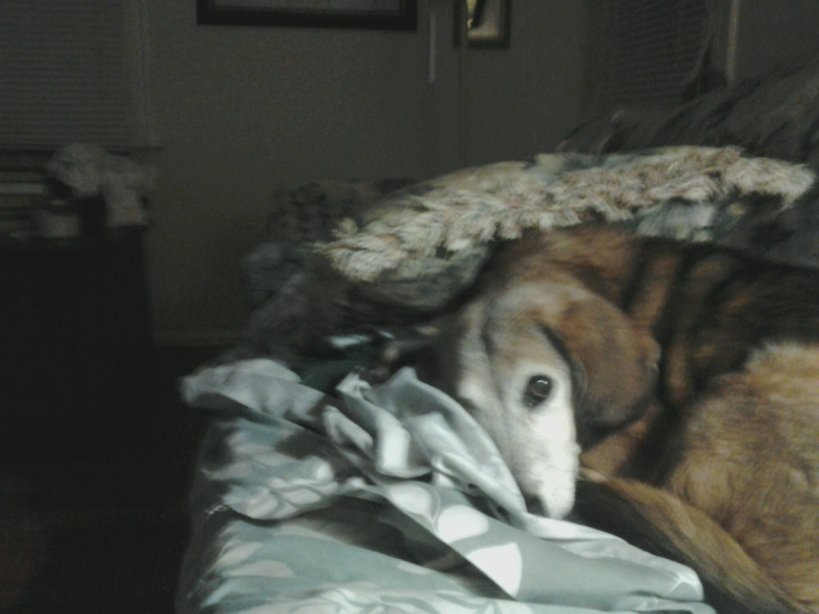 Coco thinks she is hiding under a pillow  Dec 2014.jpg