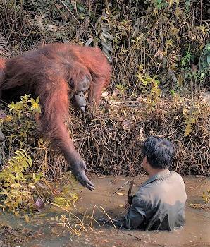 orangutan lending hand to man 50pct (2).png