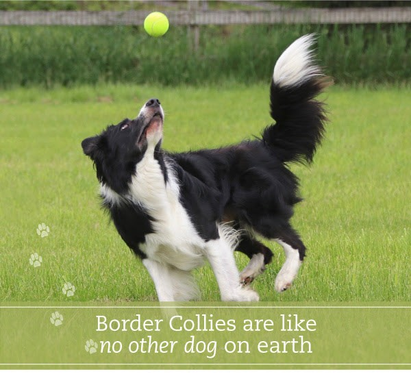 Border Collies are like no other dog on earth (1).jpg