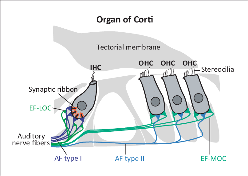 Schematic-drawing-of-the-adult-organ-of-Corti-the-sensory-epithelium-i.png