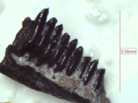 Click image for larger version - Name: albanerpetontid jaw 2.jpg, Views: 33, Size: 195.51 KB