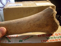 Click image for larger version - Name: cave bear tibia 5.jpg, Views: 7, Size: 393.44 KB