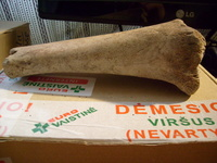 Click image for larger version - Name: Cave bear tibia 1.jpg, Views: 7, Size: 417.85 KB