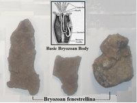 Click image for larger version - Name: Bryozoan.png, Views: 13, Size: 714.22 KB