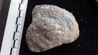 unknown UK Wenlock series fossil 10a.jpg