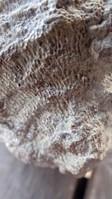 unknown UK Wenlock series fossil 12b.jpg