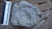 unknown UK Wenlock series fossil 14a.jpg