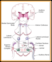 Click image for larger version - Name: Fig-2-3-The-central-auditory-system-illustration-of-the-major-central-.png, Views: 5, Size: 571.58 KB