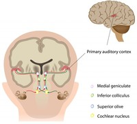 Click image for larger version - Name: Inferior-Colliculus-and-Medial-Geniculate-Body-of-the-Auditory-Pathway.jpg, Views: 5, Size: 79.97 KB